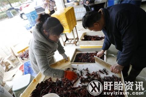 """江苏淮安:盱眙龙虾抢""""鲜""""上市,行情比去年好得多!"""